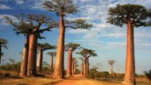 axis mundi el increible arbol baobab africano que llega a vivir 6 mil anos