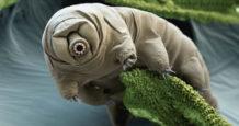 descubren por que los tardigrados son practicamente inmortales