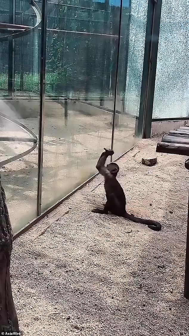Mono intenta romper su jaula de vidrio con una roca en China