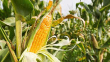 el origen del maiz leyenda azteca