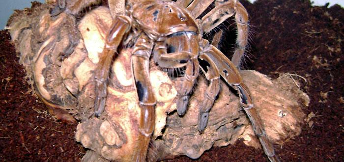 Las misteriosas arañas gigantes del Congo: J'ba Fofi
