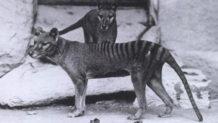 en busca del tigre fantasma cientificos buscan una especie extinguida en 1936