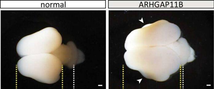 cientificos han desarrollado cerebros de mono mas grandes con genes humanos