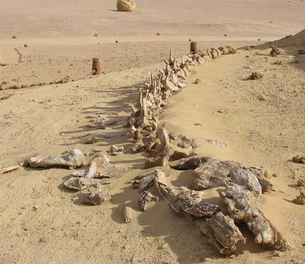 el valle de las ballenas en medio del desierto egipcio como llegaron restos de ballenas ahi