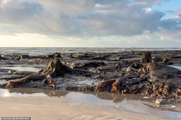 antiguo bosque petrificado de 4 500 anos fue revelado por tormenta francis en gales