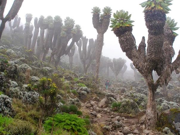 el bosque prehistorico que surgio hace un millon de anos en el kilimanjaro