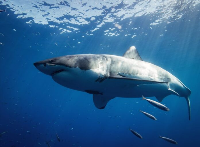 orcas estan destrozando a tiburones blancos para comer sus higados