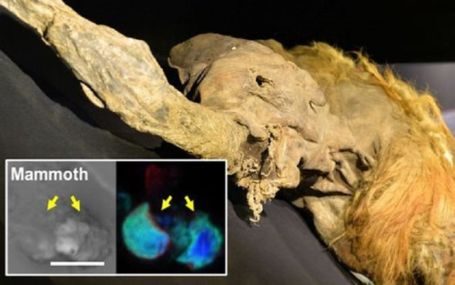 prueba de vida despues de la muerte cientificos acaban de hacer que las celulas congeladas de mamut cobren vida