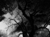 la extrana historia del arbol del diablo de michoacan