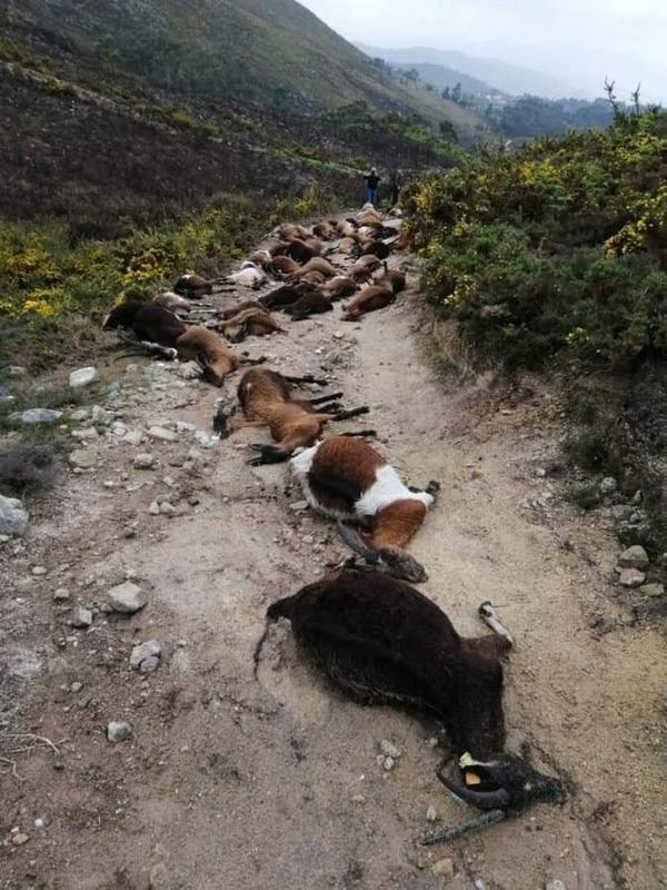 """¿Rayos del cielo? En Portugal, un extraño rayo """"estalló desde el interior"""" 68 cabras 3"""