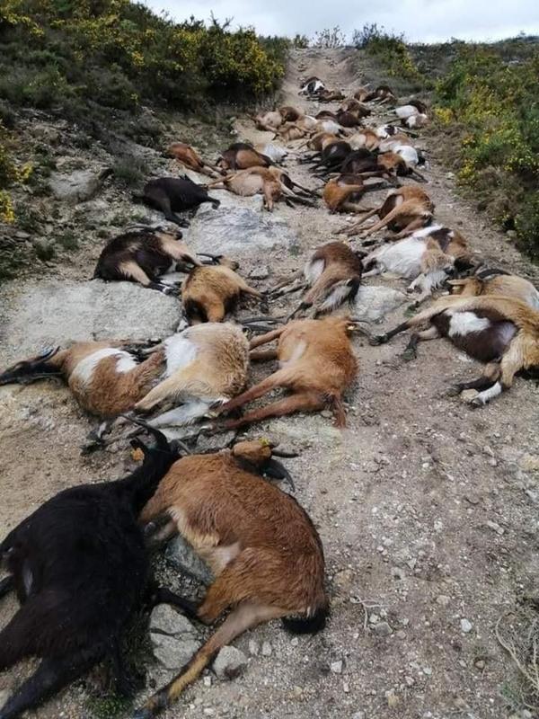 """¿Rayos del cielo? En Portugal, un extraño rayo """"estalló desde el interior"""" 68 cabras 4"""