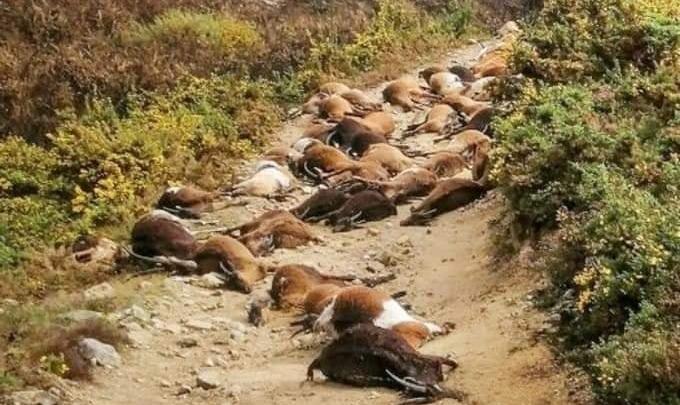 """¿Rayos Del Firmamento? En Portugal, Un Raro Rayo """"Explotó Desde El Interior"""" 68 Cabras"""