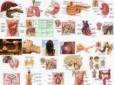 los organos del cuerpo y su relacion con las emociones